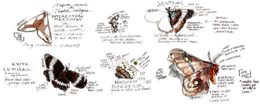 2013_bison summer sketches (36)_Lepidoptera_clean_sig_cr