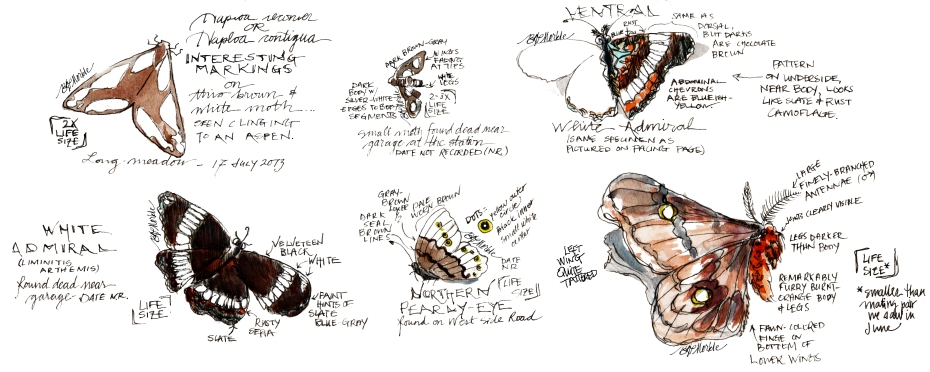 2013_bison summer sketches (36)_Lepidoptera_clean_sig_cr.jpg