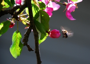 Bee pollinating apple tree (Quebec)