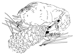 Species illustration, commissioned by researcher studying newly identified Cassia's crossbill