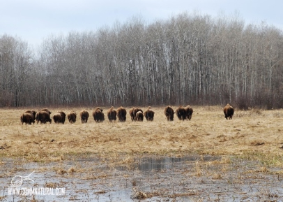 Row of bison_BG Merkle (05.2013)