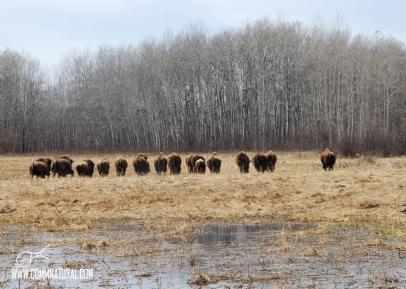 Row of bison_BG Merkle (05.2013)