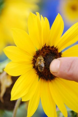 Native pollinator; urban garden