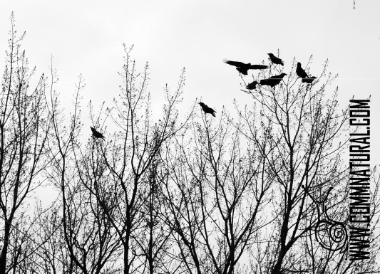 20140403_owl & crows (6)_cr_bw_wmh