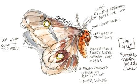 Polyphemous moth (02.2014)_sig