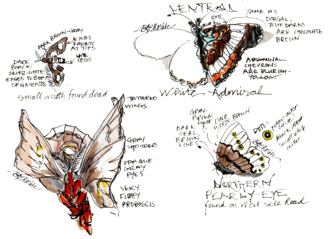 2013_bison summer sketches (36)_Lepidoptera_moths vs. butterflies