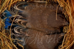 Bluebird chicks in nest box