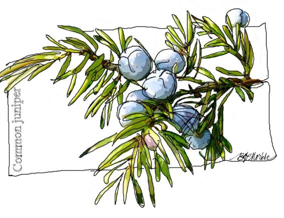 Common juniper_drawing (02.19.2015)_rs