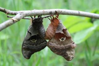 20130618_polyphemus moth (2)