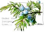 MOO_Common juniper_text
