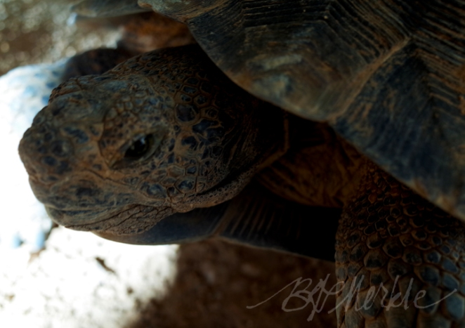 20160103_Desert tortoise_Chandler neighbors (2)_cr_c_sig_rs