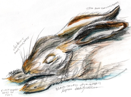 20160107_hare sketch 1_clean_sig