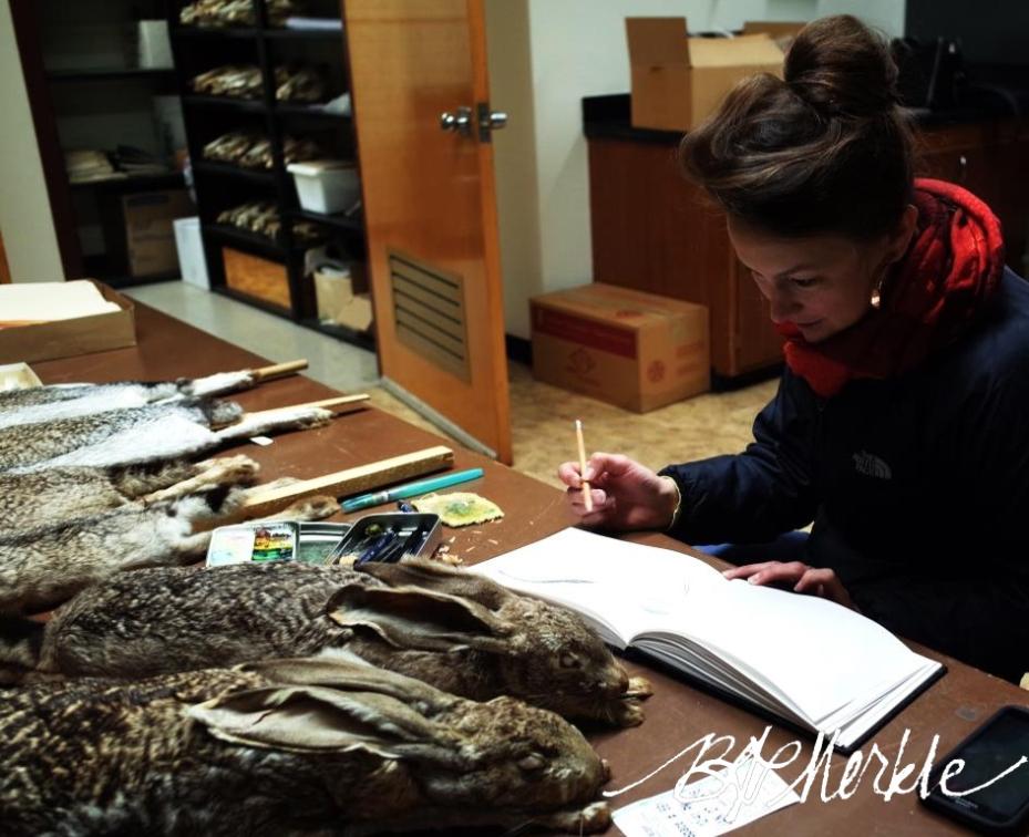 20160107_UofA vertebrate museum_sketching hares (10)_cr_c_sig