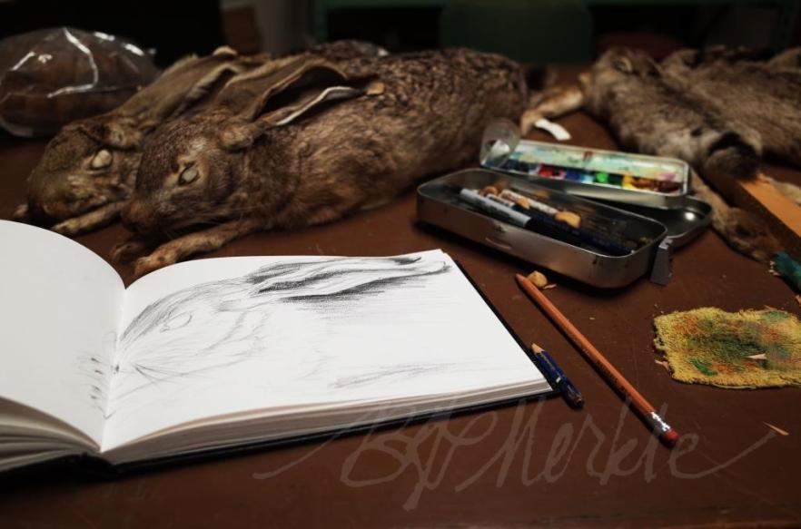20160107_UofA vertebrate museum_sketching hares (6)_c_sig