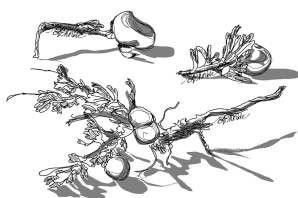 Three galls_illustration_v2_rs
