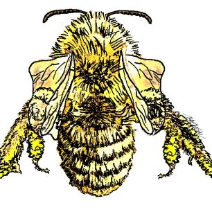 "Draft illustration of native bee for University of North Carolina's ""Your Wild Life"" program"