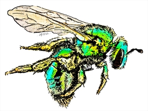 "Draft illustration of native bee for University of North Carolina's ""Your Wild Life"" program"