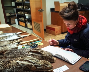 Researching black-tailed jackrabbits (UofArizona Vertebrate Collection)