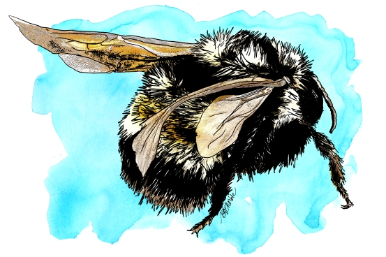 native bee & honey bee illustrations for citizen science project
