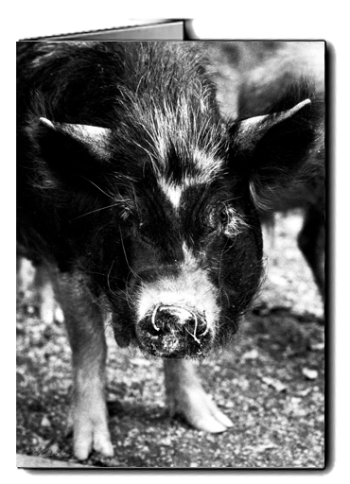 bw_kune_kune_ pig_bw_card icon