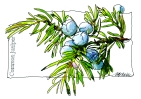 MOO_card_Common juniper