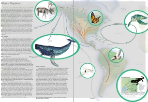 """Illustrations for this spread in """"Wild Migrations: An Atlas of Wyoming's Ungulates"""""""